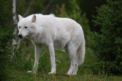 Volves arctiques images libres de droits
