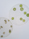 Volvox is genus of chlorophyte green algae stock images