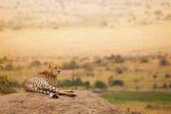 Volwassen Afrikaanse jachtluipaard die op de heuvel leggen Royalty-vrije Stock Foto