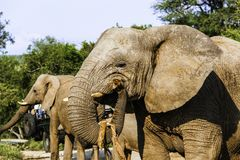 Volwassen Afrikaanse struikolifant royalty-vrije stock foto