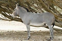 Volwassen Afrikaanse wilde ezel (africanus Equus) Royalty-vrije Stock Afbeeldingen
