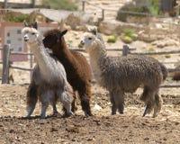Volwassen alpacas van de boom Royalty-vrije Stock Foto