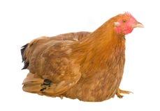 Volwassen bruine kip Royalty-vrije Stock Fotografie