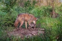 Volwassen Coyote (Canis latrans) en Jongsnuifje over Densite Stock Afbeeldingen
