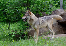 Volwassen Coyote die zich op een rots bevinden Stock Foto's