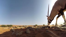 Volwassen de gazelle dichte omhooggaand van Gemsbok Oryx tegen woestijnachtergrond, het Grensoverschrijdende Nationale Park van K royalty-vrije stock afbeelding
