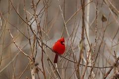 Volwassen die kardinaal in een boom wordt neergestreken stock afbeeldingen