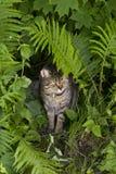 Volwassen die tijgerkat in varens wordt genesteld die uit met strenge uitdrukking kijken royalty-vrije stock fotografie