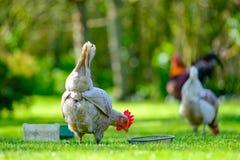 Volwassen eierleggenkip die door haar voedseltrog zien in een tuin stock afbeeldingen