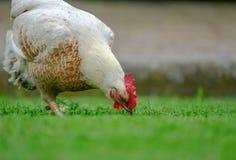 Volwassen eierleggenkip die door haar voedseltrog zien in een tuin royalty-vrije stock foto