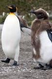 Volwassen en het ruien jeugdkoningspinguïn met kolonie op achtergrond royalty-vrije stock foto