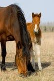 Volwassen en jong paard en veulen Stock Afbeelding