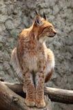 Volwassen Europees-Aziatische lynx Stock Afbeeldingen