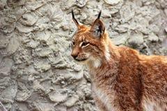 Volwassen Europees-Aziatische lynx Royalty-vrije Stock Fotografie