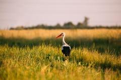 Volwassen Europese Witte Ooievaar die zich in Groen de Zomergras bevinden in Wit-Rusland royalty-vrije stock afbeelding