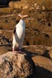 Volwassen geel-Eyed Pinguïn NZ of Hoiho op kust stock foto