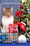 Volwassen gestreepte kat Royalty-vrije Stock Foto