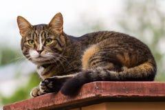 Volwassen gestreepte katkat die op met platte kop van een pijler liggen stock foto