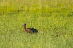 Volwassen Glanzende Ibis die in de Zon loopt stock fotografie