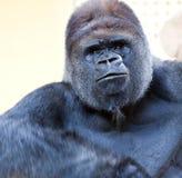 Volwassen gorilla Royalty-vrije Stock Afbeeldingen
