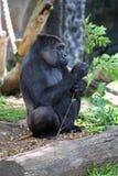 Volwassen Gorilla Stock Fotografie