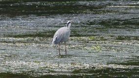 Volwassen grijze reiger die vissen vangen stock footage