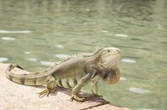 Volwassen groene Leguaan - Colombia royalty-vrije stock fotografie