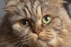Volwassen Groot kattenclose-up met groene ogen stock foto
