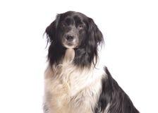 Volwassen hond Stock Foto's