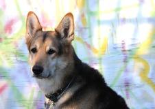 Volwassen hond Royalty-vrije Stock Foto's