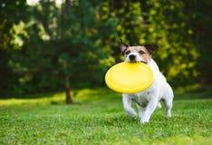 Volwassen hond speelvangst en haal met plastic schijf openlucht stock afbeelding