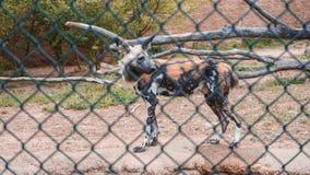 Volwassen Hyena binnen een dierentuinkooi royalty-vrije stock fotografie