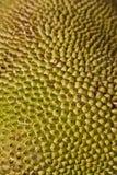 Volwassen jackfruit Stock Fotografie