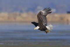 Volwassen Kaal Eagle die met vissenbeeld opstijgen Stock Foto's