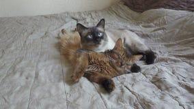 Volwassen kattenmekong bobtail en katje Somaliër De huisdieren liggen en slaap op een bed stock video