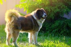 Volwassen Kaukasische Herdershond De pluizige Kaukasische herdershond is s royalty-vrije stock foto's