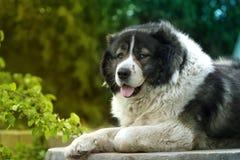 Volwassen Kaukasische Herdershond De pluizige Kaukasische herdershond is l royalty-vrije stock foto's