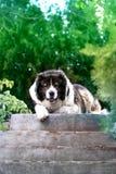 Volwassen Kaukasische Herdershond De pluizige Kaukasische herdershond is l royalty-vrije stock foto