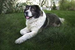 Volwassen Kaukasische Herdershond De pluizige Kaukasische herdershond ligt op de grond royalty-vrije stock afbeelding