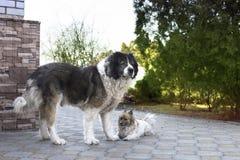 Volwassen Kaukasische Herdershond Pluizige Kaukasische herdershond in de werf stock foto's