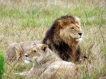 Volwassen leeuw en leeuwin die en in het gras in Zuid-Afrika leggen rusten Royalty-vrije Stock Foto's