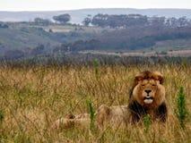 Volwassen leeuw en leeuwin onbeweeglijk in Zuid-Afrika royalty-vrije stock afbeelding
