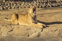 Volwassen leeuwin die en met haar zichtbare hoektanden rusten geeuwen aangezien zij haar mond opent royalty-vrije stock fotografie