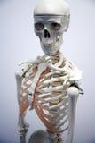 Volwassen mannelijk skelet royalty-vrije stock foto