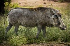 Volwassen Mannelijk Wrattenzwijn Stock Afbeeldingen