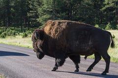 Volwassen mannelijke bizon of bufalo royalty-vrije stock afbeelding