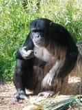 Volwassen Mannelijke Chimpansee royalty-vrije stock foto