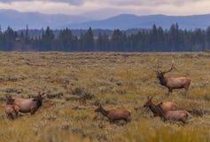 Volwassen Mannelijke Elanden en zijn kudde - Grote Tetons Royalty-vrije Stock Foto