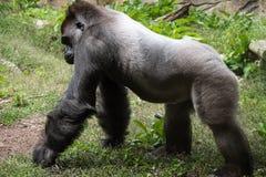 Volwassen mannelijke gorilla die op gras lopen Stock Foto's