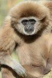 Volwassen Mannelijke Lar Gibbon Stock Afbeelding
